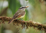 Golden-crowned flycatcher (Myiodynastes chrysocephalus)