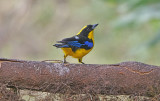 Blue-winged mountain tanager (Anisognathus somptuosus)