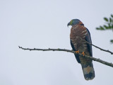 Hook-billed Kite Chondrohierax uncinatus