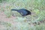 Indian robin (Copsychus fulicatus leucopterus)