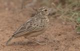 Jerdon's Bush Lark (Mirafra affinis)