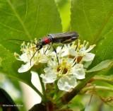Blood-necked longhorn beetle  (Callimoxys sanguinicollis)