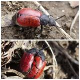 Blister beetle (Tricrania sanguinipennis)