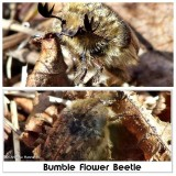 Bumble flower beetle (Euphoria inda)