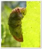 Coral hairstreak butterfly larva (Satyrium titus)