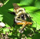 Robber fly (Laphria sacrator) with dogwood twig borer beetle