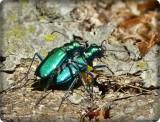 Six-spotted tiger beetles  (Cicindela sexguttata)