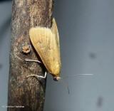 White-spotted brown moth  (Diastictis ventralis), #5255