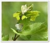 Bluish spring moth  (Lomographa semiclarata), #6666