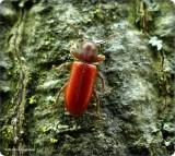 Checkered beetle (Zenodosus sanguineus)