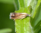 Tortricid moth (Eucosma awemeana), #2911