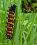 Baltimore checkerspot butterfly caterpillar  (Euphydryas phaeton)