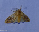 Hickory tussock moth (Lophocampa caryae), #8211
