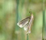 Eastern grass veneer moth (Crambus laqueatellus), #5378