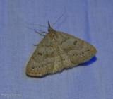 Morbid owlet moth  (Chytolita morbidalis), #8355