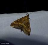 European corn borer moth  (Ostrinia nubilalis), #4949