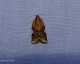 White triangle tortrix moth (Clepsis persicana), #3682