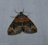 Orange-barred carpet moth  (Dysstroma hersiliata), #7189