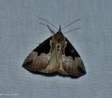 Baltimore snout moth (Hypena baltimoralis), #8442