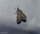 Double-striped scoparia moth (Scoparia biplagialis), #4716
