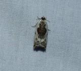 Little cloud ancylis moth  (Ancylis nubeculana), #3354