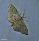Signate melanolophia moth  (Melanolophia signataria), #6621