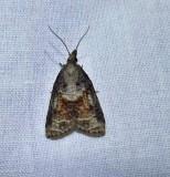 Tufted apple bud moth  (Platynota idaeusalis), #3740