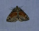 Orange barred carpet moth  (Dysstroma hersiliata), #7189