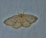 Hemlock looper moth  (Lambdina fiscellaria), #6888