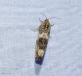 Poplar leafroller  (Pseudosciaphila duplex). #2769