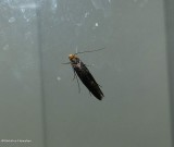 Skin moth (Monopis laevigella), #0415.1