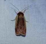 Flame-shouldered dart moth  (Ochropleura implecta), #10891