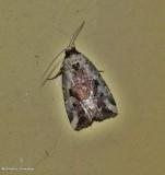 Pale -winged midget  moth (Elaphria alapallida), #9681.1
