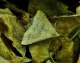 Sober renia moth (Renia sobrialis), #8387