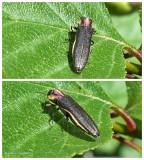 Hawthorn root borer beetle (Agrilus vittaticolis)