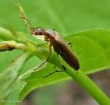 False longhorn beetle (Cephaloon)