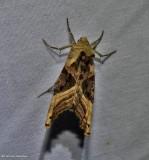 Olive-angle shades moth (Phlogophora iris), #9546
