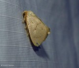 Red-crossed button slug moth  (Tortricidia pallida), #4653