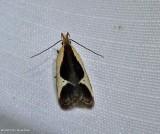 Cream-edged dichomeris moth (Dichomeris flavocostella), #2295