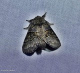 Common gluphisia  (Gluphisia septentrionis), #7931