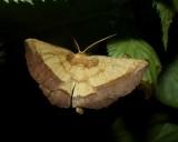 Saw-wing moth (Euchlaena serrata), #6724