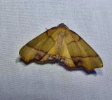 Straight-lined plagodis moth (Plagodis phlogosaria), #6842