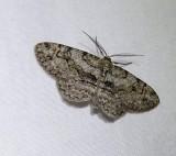 Bent-line gray moth  (Iridopsis larvaria), #6588