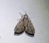 Clinton's underwing moth -(Catocala clintonii), #8872