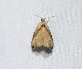 Wretched olethreutes moth(Olethreutes exoletum), #2791