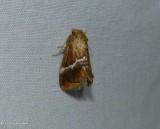 Yellow-shouldered slug moth (Lithacodes fasciola), #4665
