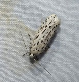Streaked ethmia moth  (Ethmia longimaculella ), #0999