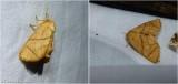 Yellow-collared slug moth ( Apoda y-inversum), #4667