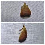 Drab condylolomia moth (Condylolomia participalis), #5571