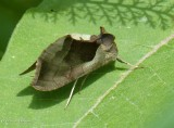 Green-patched looper moth (Diachrysia balluca), #8897